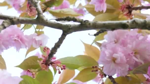 Zdola nahoru pohled na kvetoucí třešeň