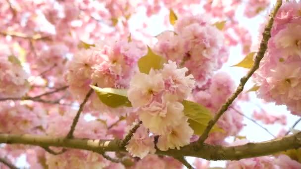 Zdola nahoru pohled nebo růžové strom kvetoucí