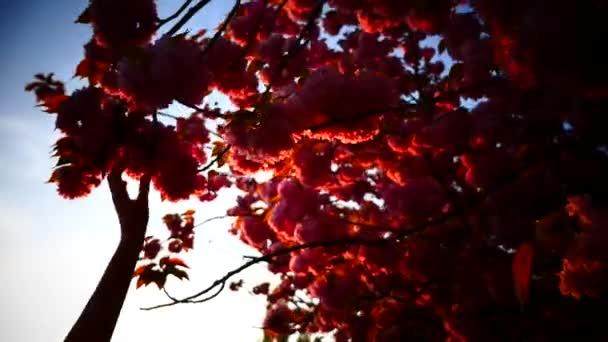 Mladá žena a třešňový květ při západu slunce