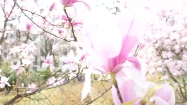 Nádherný květ Magnolie closeup