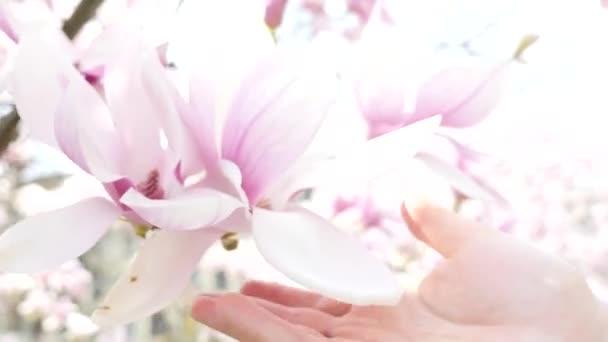 Lidská ruka se dotýká nádherný květ Magnolie closeup
