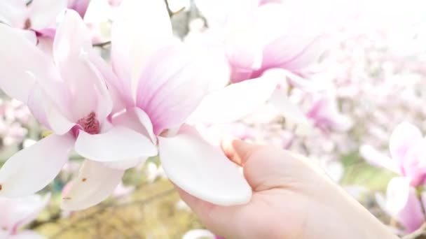 Lidská ruka se dotýká úhrady květ Magnolie closeup