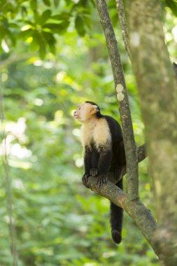 Spider monkey on tree