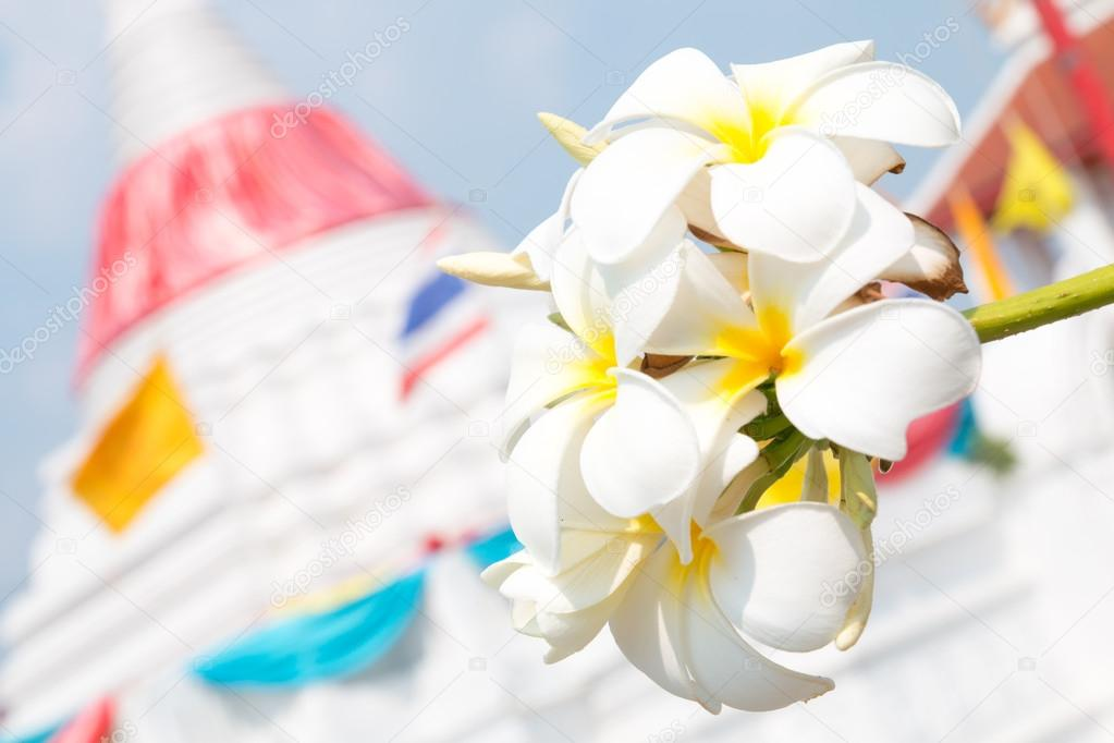 White frangipani flowers in temple