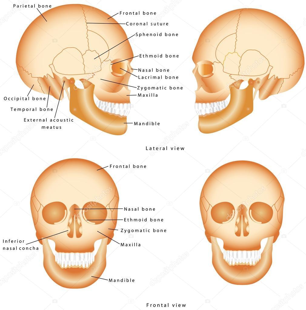 Human Skull structure — Stock Vector © anutuno #54319915