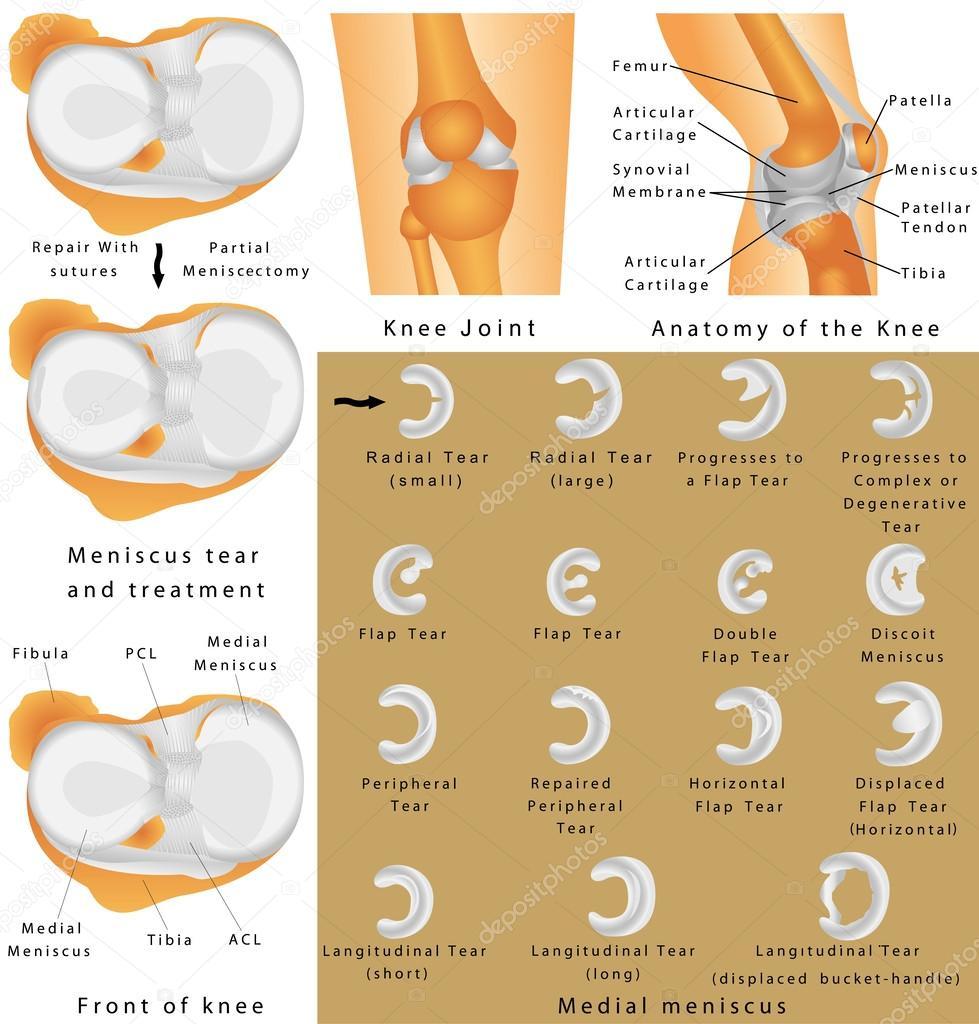 Anatomía de la rodilla — Vector de stock © anutuno #55963691