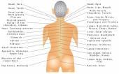 Della colonna vertebrale. Correlazione di organo