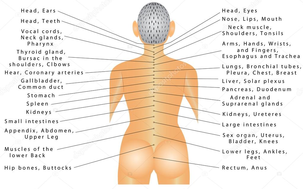Spine organ correlation stock vector anutuno 90060910 the spine is connected with all organs and can cause pain in different parts of the body autonomic nervous system innervation of internal organs vector ccuart Image collections