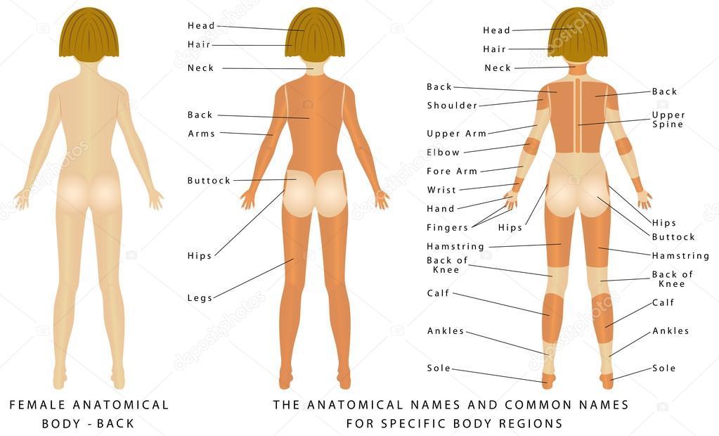 Cuerpo de la mujer. Atrás — Vector de stock © anutuno #90060912