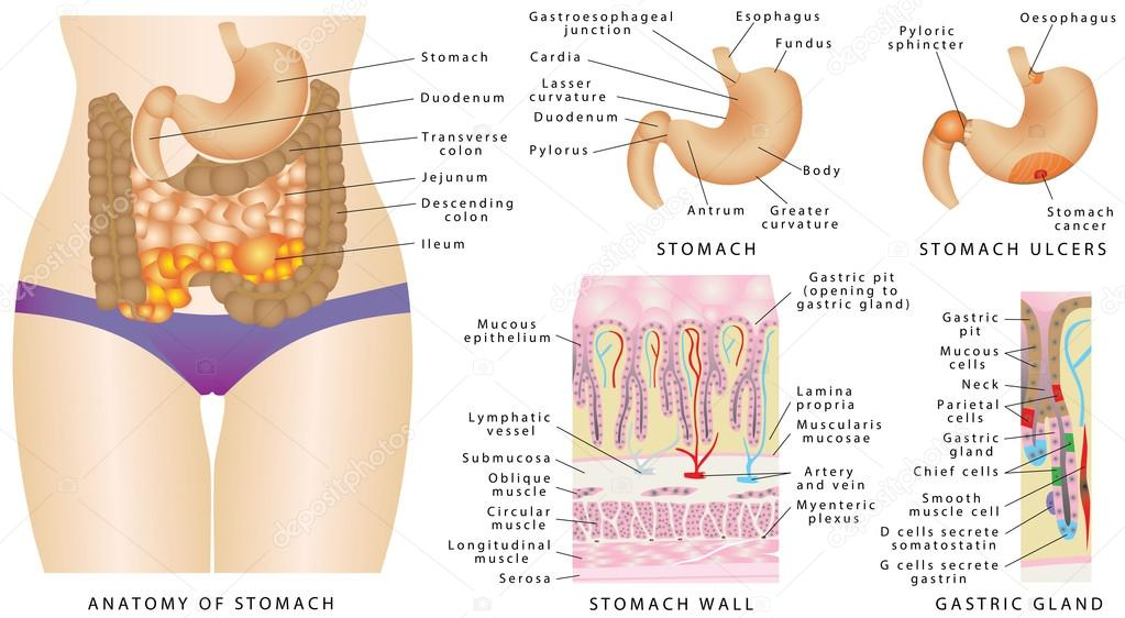 Stomach Anatomy Of The Human Stock Vector Anutuno 97037342