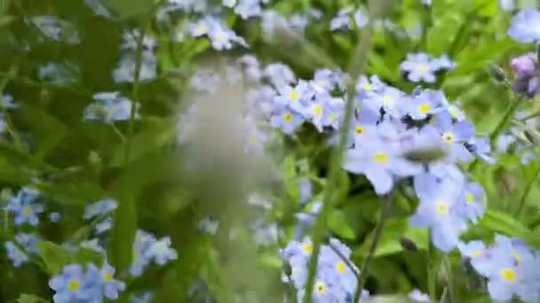 Camera zooms in on beautiful field blue flowers