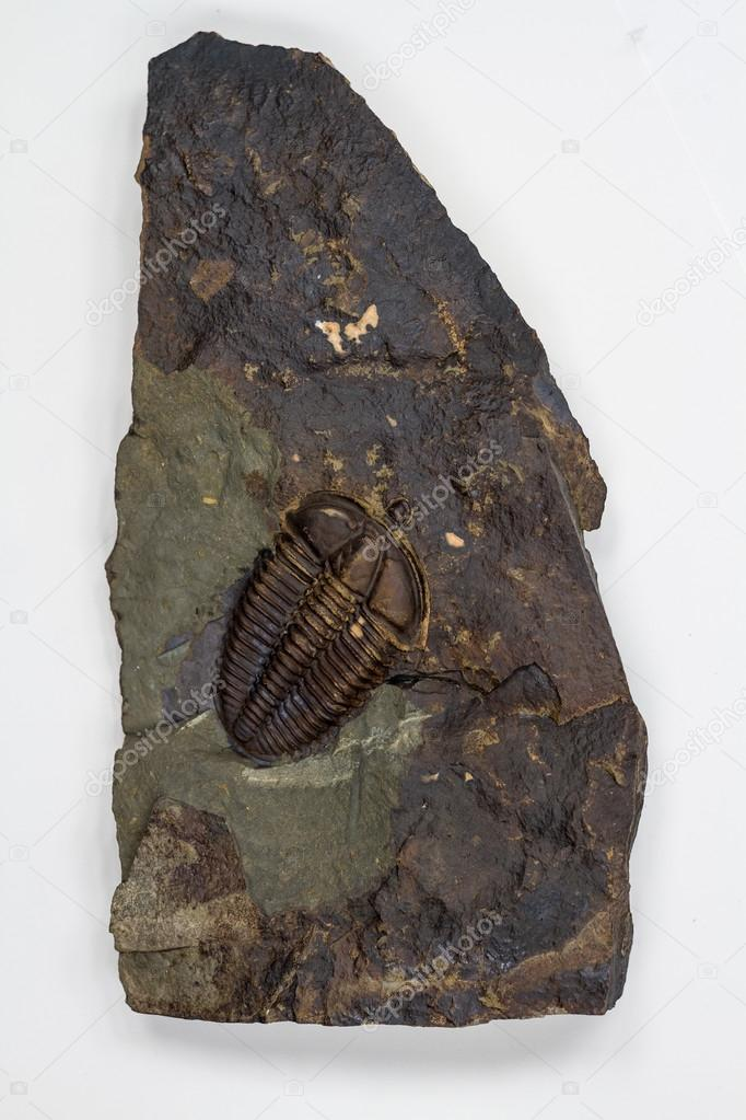 The Detail of Big Brown Isolated Trilobite