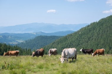 Cows in the mountains landscape