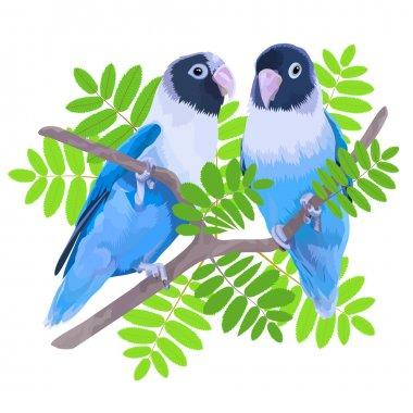 Pair of blue masked lovebirds.