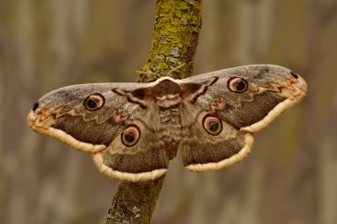 Female of Giant Peacock Moth (Saturnia pyri) on a branch