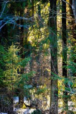 Morning sunlight on the pine trees. Spring forest landscape. Latvia