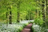 cesta v lese a kvetoucí Divoký česnek