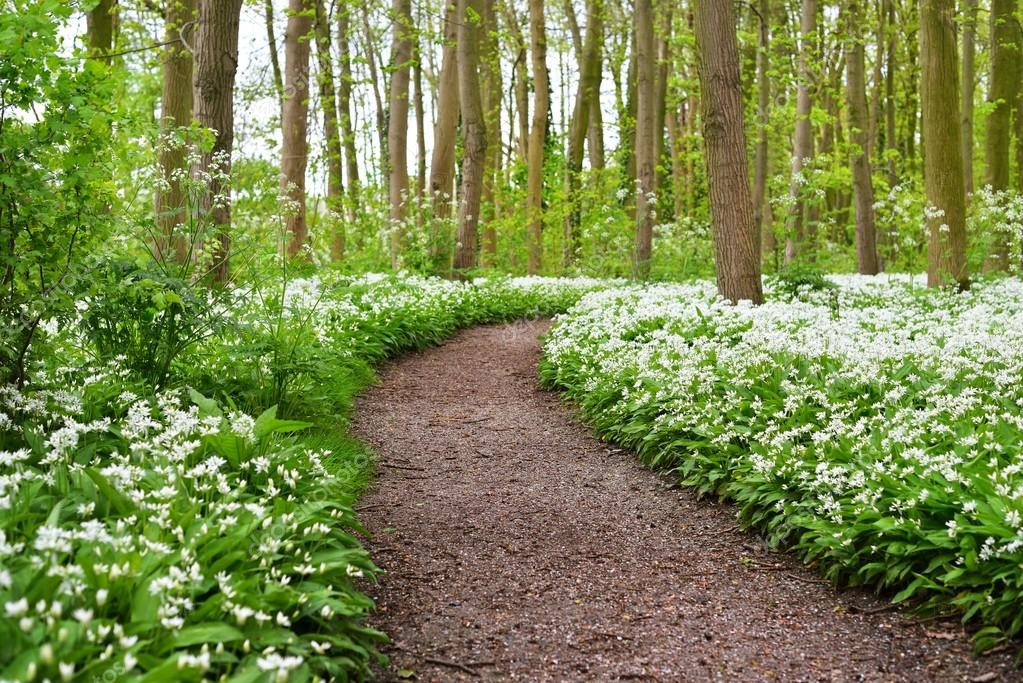 road in the forest and the blooming wild garlic