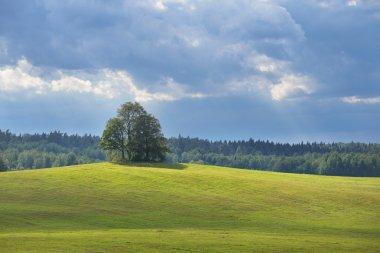 Lonely oak trees in the field