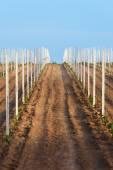 Fiatal bor növények egy mező, Németország