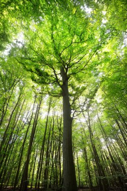beech tree forest in Germany