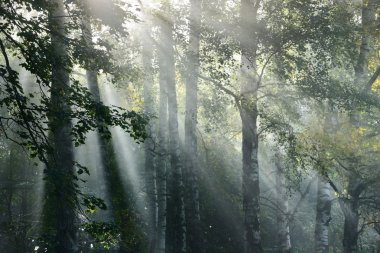 Sun rays in a fog in the forest