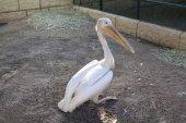 Pelikán. Al Ain Zoo. Abú Dhabí. Spojené arabské emiráty