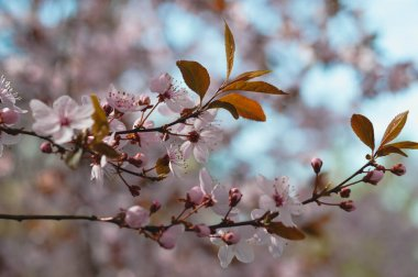 Pastel pink tree flower in the wild close up. Early spring blooming tree.