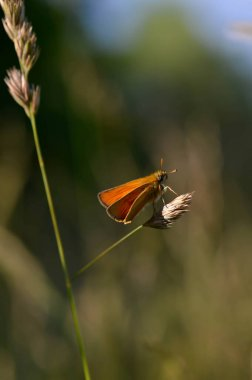 Small skipper butterfly, copper moth on a plant in the wild natural background, close up, macro