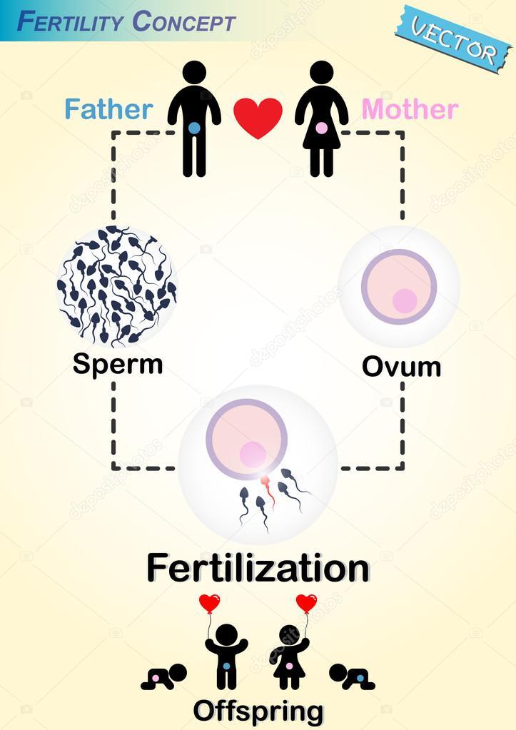 Diagrama de la fertilización humana — Archivo Imágenes Vectoriales ...