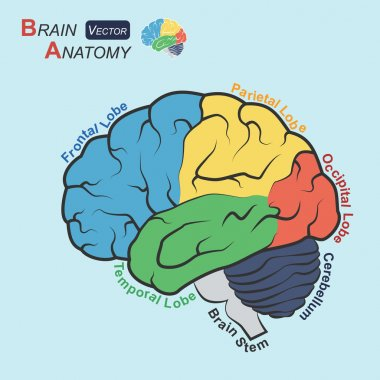 Brain anatomy ( Flat design )  ( Frontal lobe , Temporal Lobe , Parietal Lobe , Occipital Lobe , Cerebellum , Brain stem )