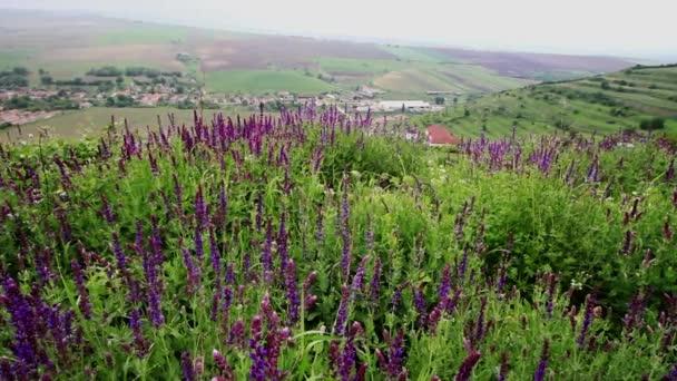 Lavender květiny s vesnicí v pozadí. Dolly zastřelil.