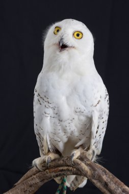 Close up Snowy owl isolated on black background.