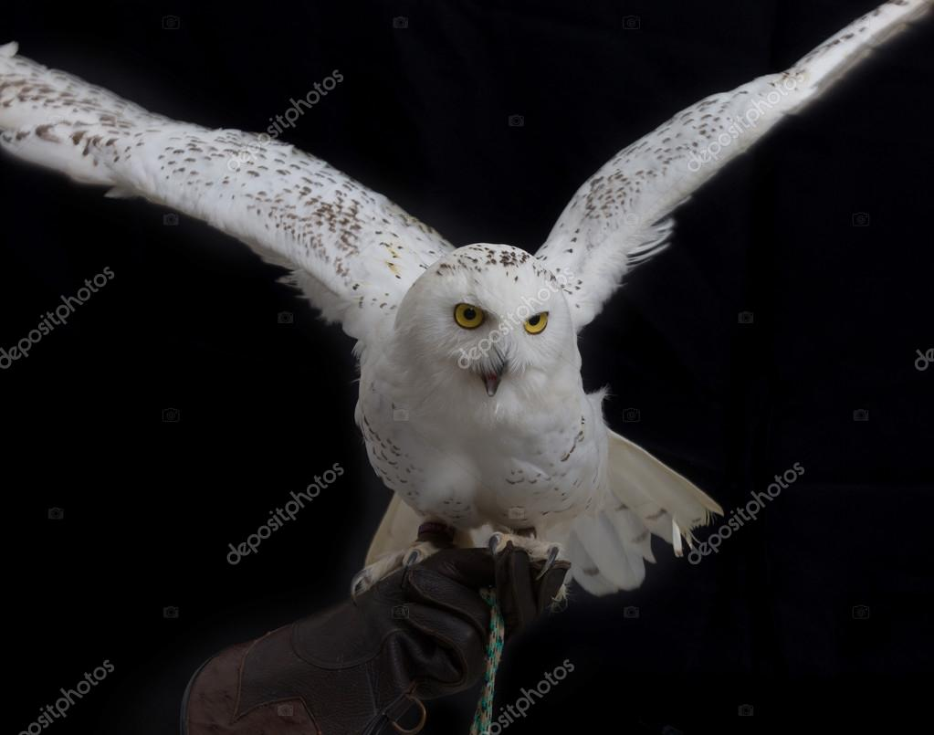 Snowy Owl - Bubo scandiacus standing on leather glove of human hand
