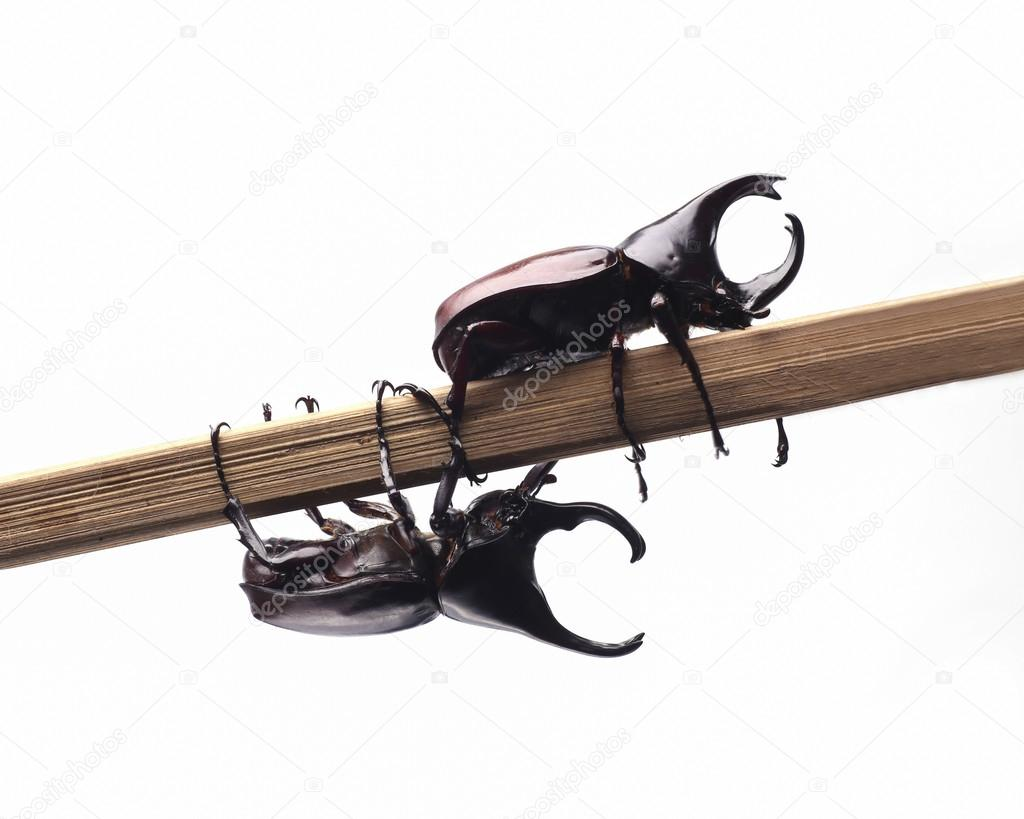 Two fighting beetle (rhinoceros beetle) on branch,isolated on wh