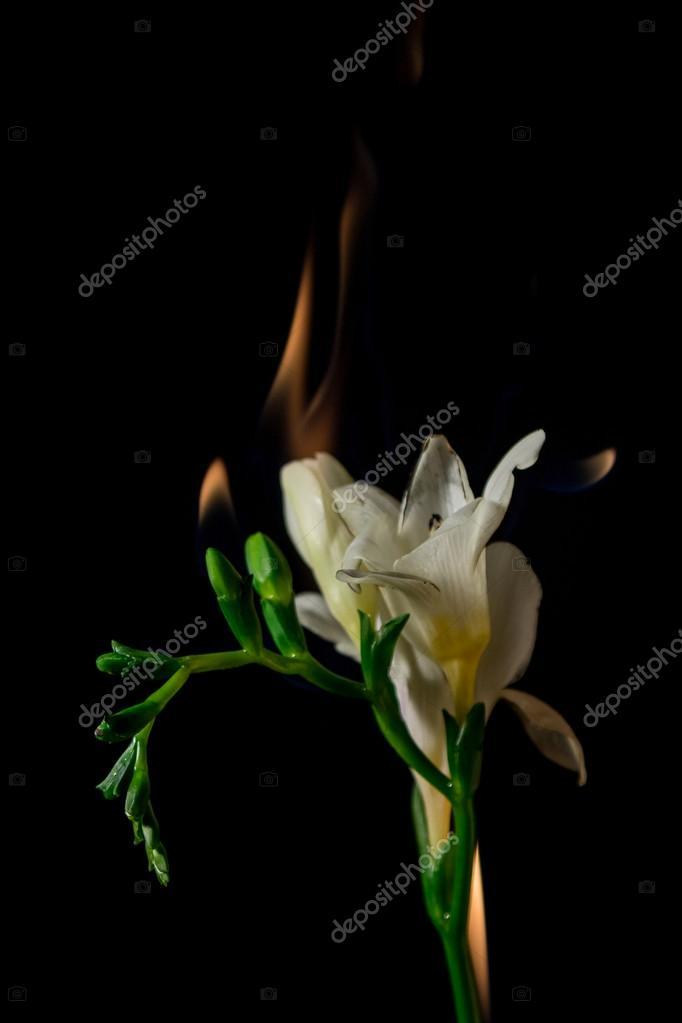 White freesia flower on fire stock photo furofelix 120491622 white freesia flower on fire stock photo mightylinksfo