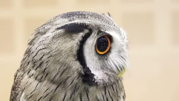 Zblízka střílel z malé severní bledou tváří sova. Krásné žluté lesklé oči a šedé peří