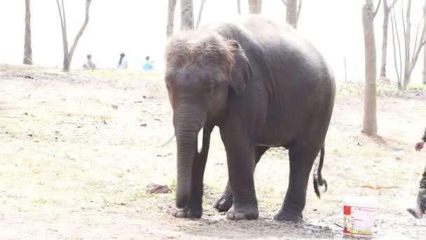 borjú, kis elefánt, fürdés a tömlő