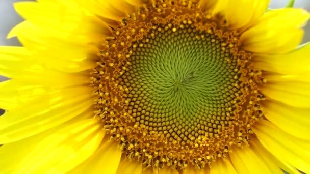 Zářivě žluté slunečnice a včela zblízka střílel