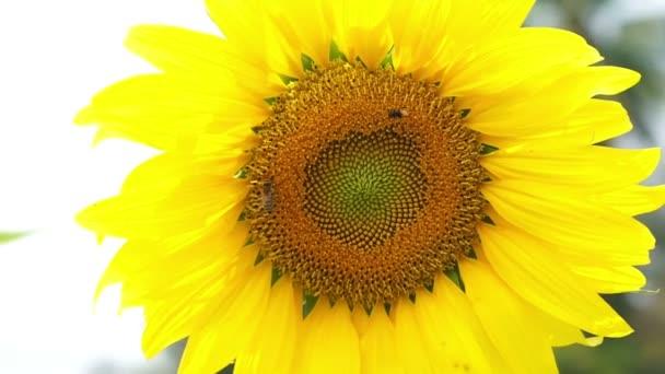 Bloom videóinak napraforgó és a szerény méh pollen összegyűjti a kék ég háttér közlekedő
