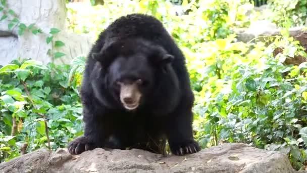 Asian bear videos