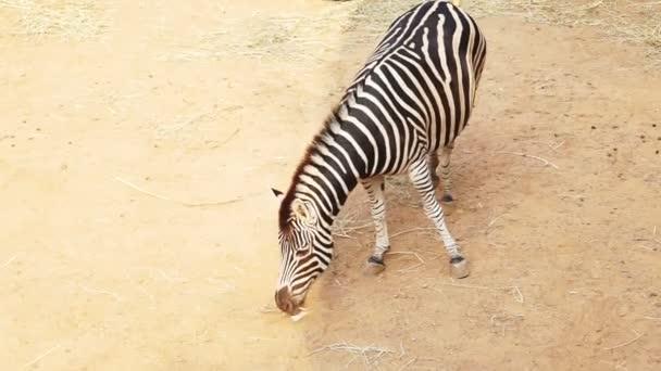 Zebra z pohledu shora s hnědým pískem pozadím v slunce a stínu