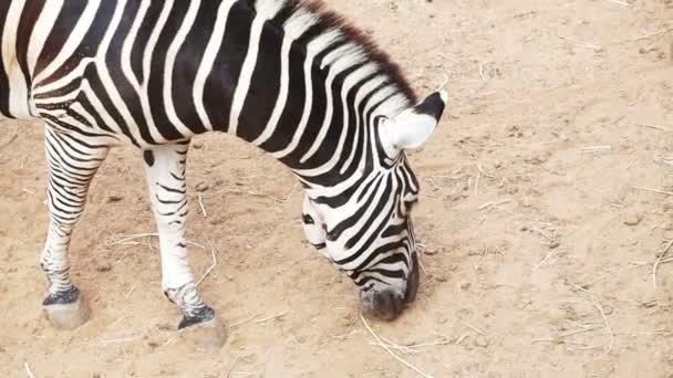 Zebra, felső nézetből barna homok háttér-nap és árnyék