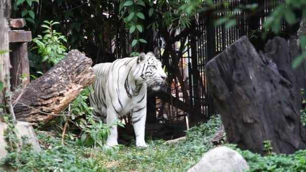 White tiger in tropical forest background
