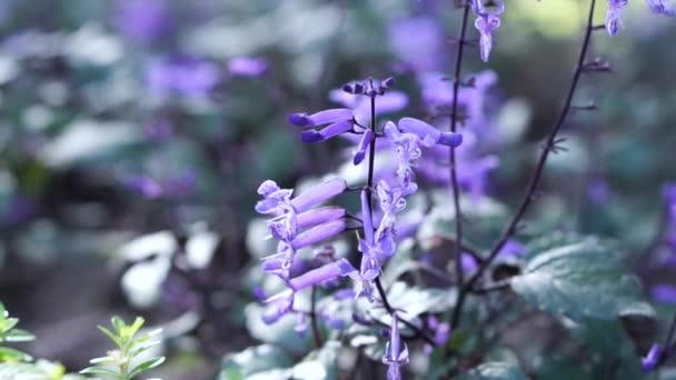 fialově purpurové květy