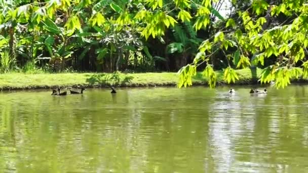 kachny, koupání v jezeře