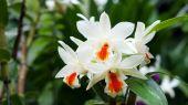 bílé květy orchidejí