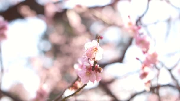 szilva cherry blossom