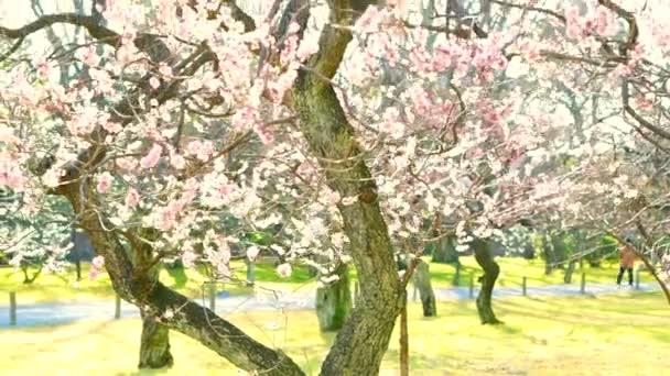 cseresznye szilvavirág
