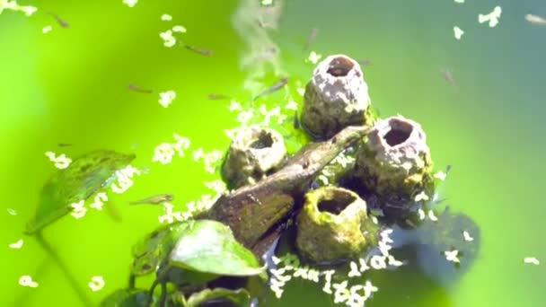Nuoto in acqua verde dei pesci guppy piccolo video for Acqua verde laghetto